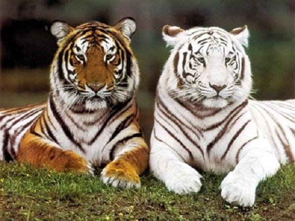 Mơ thấy hổ là điềm báo gì và nên đánh con gì?