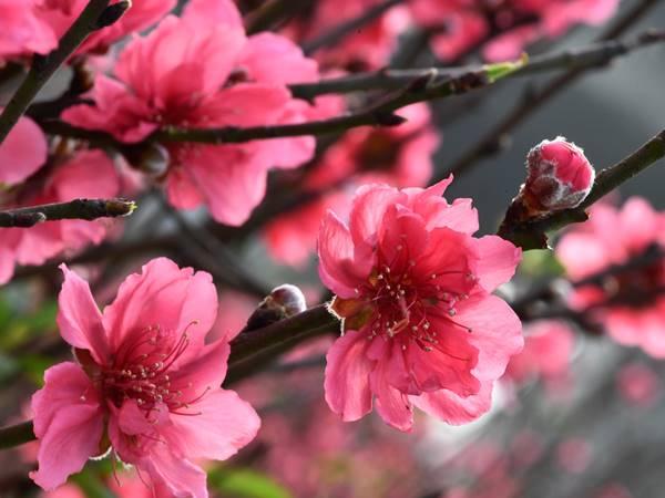 Chiêm bao mơ thấy hoa đào có ý nghĩa gì? đánh con gì?