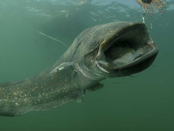 Mơ thấy cá trê là tốt hay xấu, đánh con số nào chắc ăn nhất?