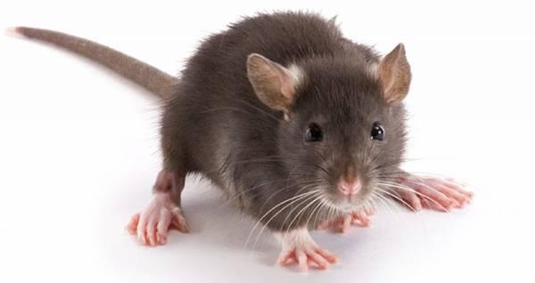 Nằm mơ thấy chuột nhắt đánh con gì chắc căn nhất