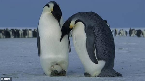 Nằm mơ thấy chim cánh cụt là điềm báo gì? đánh số mấy