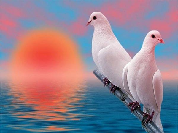 Giải mã điềm báo của giấc mơ thấy chim bồ câu