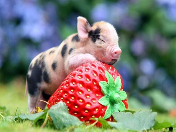 Nằm mơ thấy con lợn - Chiêm thấy thấy lợn đánh con gì ăn chắc