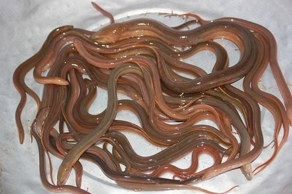 Nằm mơ thấy lươn đánh con gì? Chiêm bao thấy lươn là điềm báo gì