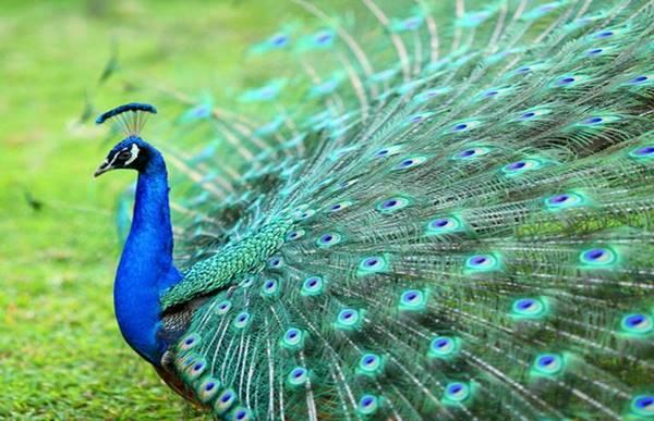 Giải mã trong giấc mơ thấy chim công là ngụ ýgì?
